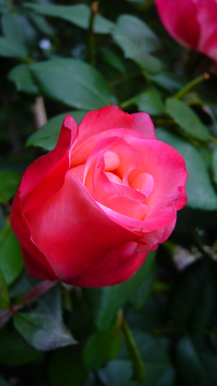 Rose170909
