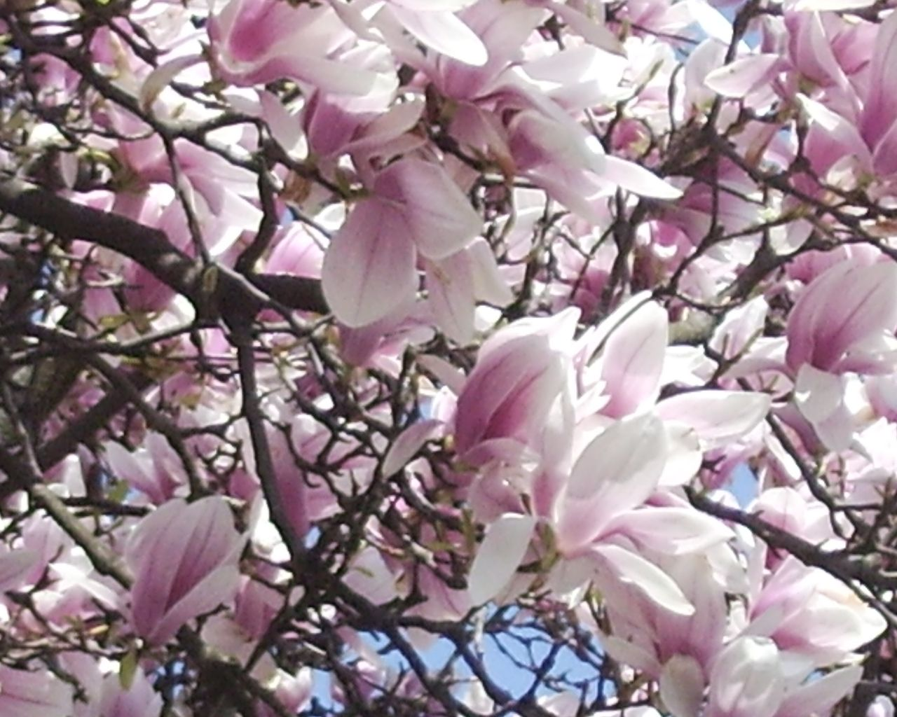 Magnolienblueten